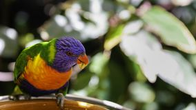 Rainbow lorikeet parrot is eating something from feeder Royalty Free Stock Image