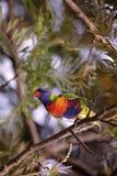 Australian Rainbow Lorikeet. Rainbow lorikeet parrot sitting in a tree stock images