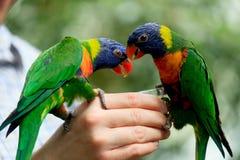 Rainbow Lorikeet Parrot Stock Image