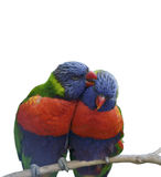 Rainbow Lorikeet Parrots Stock Images
