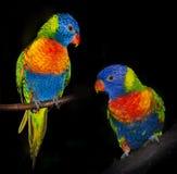 Rainbow lorikeet parrots Stock Photography