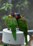 Rainbow Lorikeet Parrots. Are kissing each other stock photos