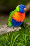 Rainbow Lorikeet On A Perch Stock Images