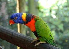Rainbow lorikeet on perch Stock Photos