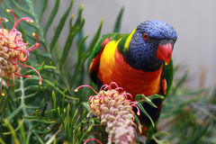Rainbow Lorikeet perched on a Grevillia branch Royalty Free Stock Photos