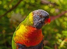 Rainbow Lorikeet. Portrait of Australias Rainbow Lorikeet taken in the wild Royalty Free Stock Image