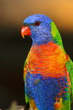 Rainbow Lorikeet posing for camera Stock Photos