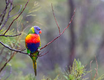 Rainbow Lorikeet in the rain Stock Photos