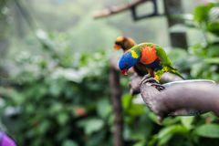 Rainbow Lorikeet. Making silly faces. Bright blue, yellow, green, orange and red feathers, sitting on branch stock photography
