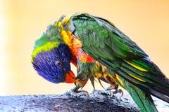Rainbow lorikeet stock photos