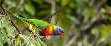 Rainbow lorikeet ready for flight stock photo