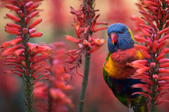 Rainbow Lorikeet in Red Aloe Flowers Royalty Free Stock Image