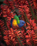 Rainbow Lorikeet in Red Aloe Spring Flowers Stock Photo