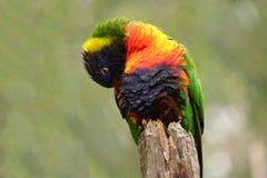 Rainbow Lorikeet resting stock image