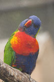Rainbow Lorikeet. A rainbow lorikeet with it's head cocked Stock Photography