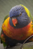 Rainbow Lorikeet. A rainbow lorikeet sitting on branch Stock Photo