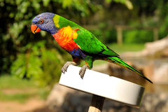 Rainbow lorikeet is sitting on a feeding plate Stock Image