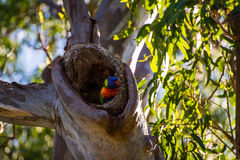 Rainbow lorikeet sitting in log hollow. Rainbow lorikeet, a small colourful bird sitting in a log hollow up a tree amongst leaves and branches stock photos