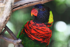 Rainbow lorikeet. Sitting on a wood branch Royalty Free Stock Photography