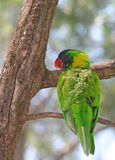 Rainbow Lorikeet smiling on the tree Stock Photos