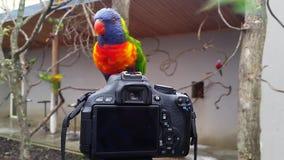 Rainbow Lorikeet Standing on the Camera stock video