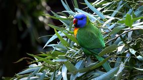 Rainbow lorikeet stock video
