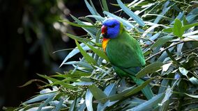 A rainbow lorikeet stands on top of a tree branch