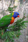 A Rainbow Lorikeet in a tree Stock Images