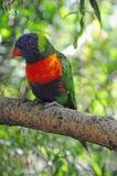 A Rainbow Lorikeet in a tree Royalty Free Stock Photos
