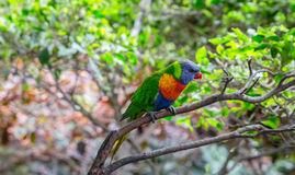 Rainbow Lorikeet on a Tree Royalty Free Stock Photography