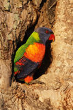 Rainbow Lorikeet (Trichoglossus haematodus) Stock Images