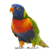 Rainbow Lorikeet, Trichoglossus haematodus Stock Photography