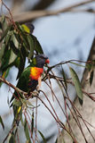 Rainbow Lorikeet (Trichoglossus haematodus) Stock Photography