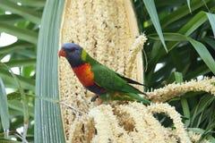 Rainbow Lorikeet (Trichoglossus haematodus) Royalty Free Stock Image