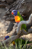 Rainbow Lorikeet, Trichoglossus haematodus Royalty Free Stock Images