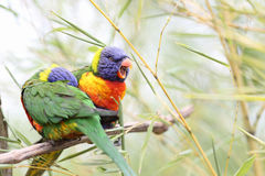 Rainbow lorikeet, trichoglossus haematodus Royalty Free Stock Photos