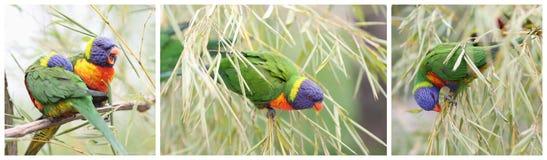 Rainbow lorikeet, trichoglossus haematodus Royalty Free Stock Image