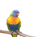 Rainbow lorikeet, trichoglossus haematodus Royalty Free Stock Photography