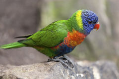 Rainbow lorikeet (Trichoglossus haematodus) on a rock Royalty Free Stock Image