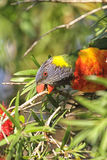 Rainbow Lorikeet (Trichoglossus haematodus) Royalty Free Stock Photos