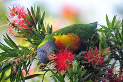 Rainbow Lorikeet (Trichoglossus haematodus) Stock Photos