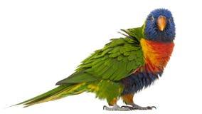Rainbow Lorikeet, Trichoglossus haematodus, 3 years old royalty free stock photography