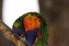 Rainbow Lorikeet (Trichoglossus moluccanus) Stock Image