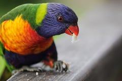 Rainbow Lorikeet (Trichoglossus moluccanus) Royalty Free Stock Photography