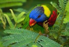 Rainbow Lorikeet (Trichoglossus moluccanus).Horizontal. Stock Image