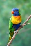 Rainbow lorikeet (Trichoglossus moluccanus) Royalty Free Stock Image