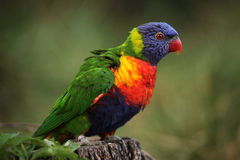 Rainbow lorikeet (Trichoglossus moluccanus) Royalty Free Stock Photos