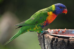 Rainbow lorikeet (Trichoglossus moluccanus) Royalty Free Stock Photo