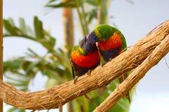 Rainbow Lorikeet Royalty Free Stock Photography