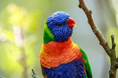 A rainbow lorikeet up close stock image
